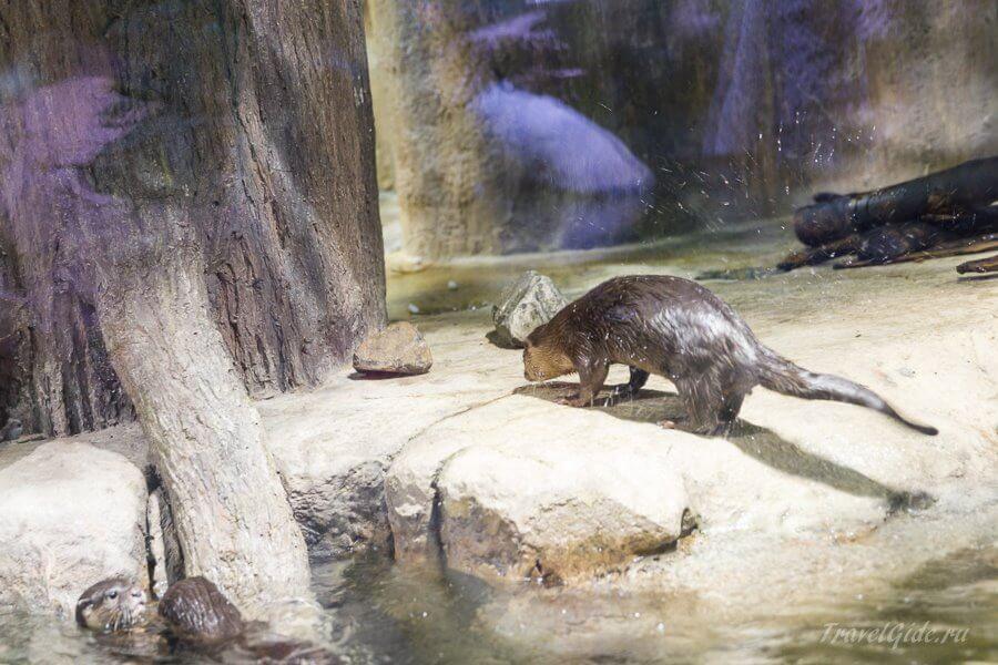бобёр в зоопарке