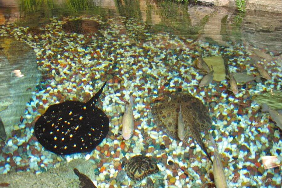 скаты в аквариуме