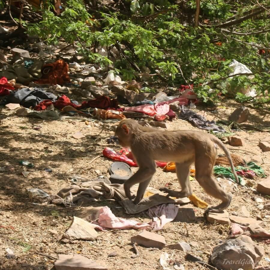 Обезьяна на свалке в Индии