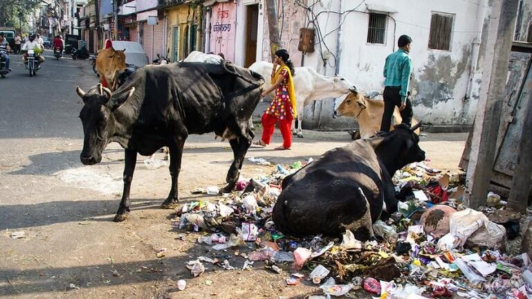 коровы в куче мусора