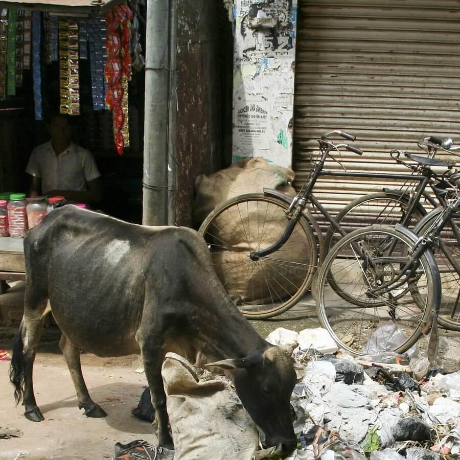 Корова ищет еду в мусоре
