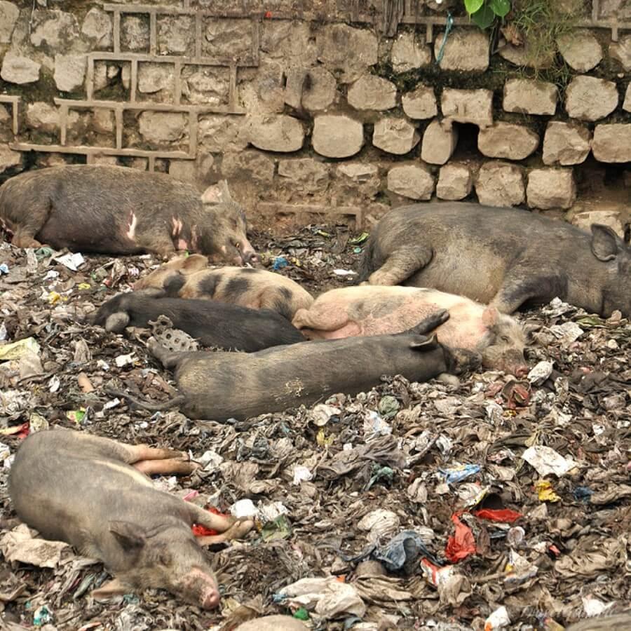 Дикие свиньи на помойке