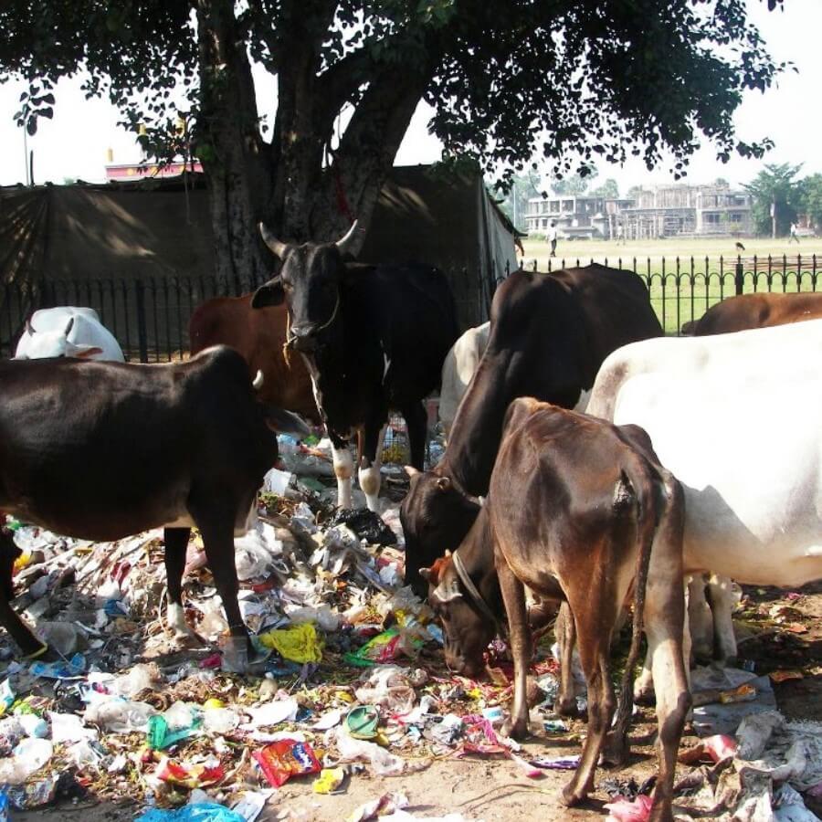 Коровы в мусоре в Индии