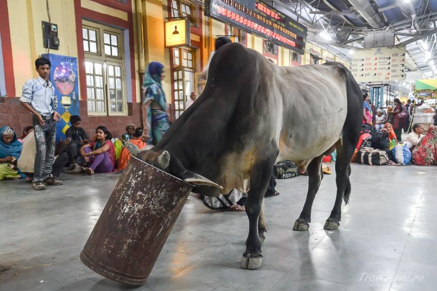 Корова есть из бака на вокзале