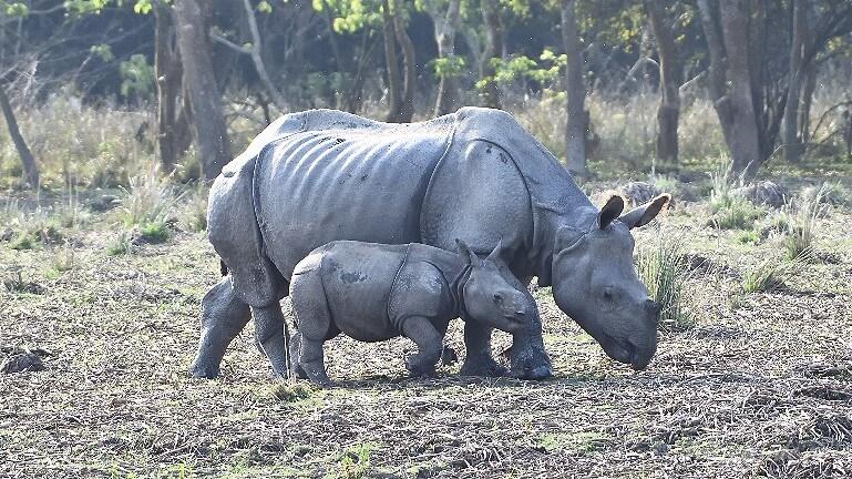 Носороги заповедника Побитора