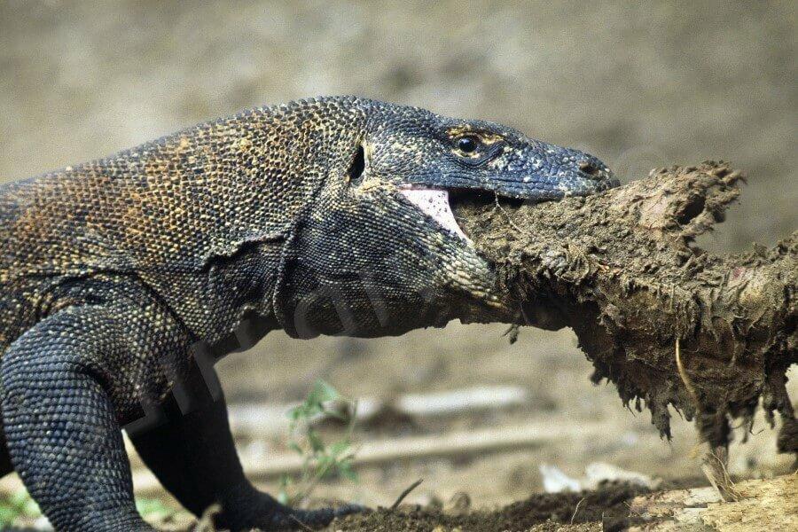 Комодский дракон за едой © Travelgide.ru