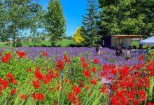 Photo of Оцените самые восхитительные лавандовые поля и восстановите покой в душе.