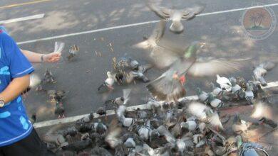 Photo of Почему в Таиланде нельзя кормить голубей: мошенники и птицы