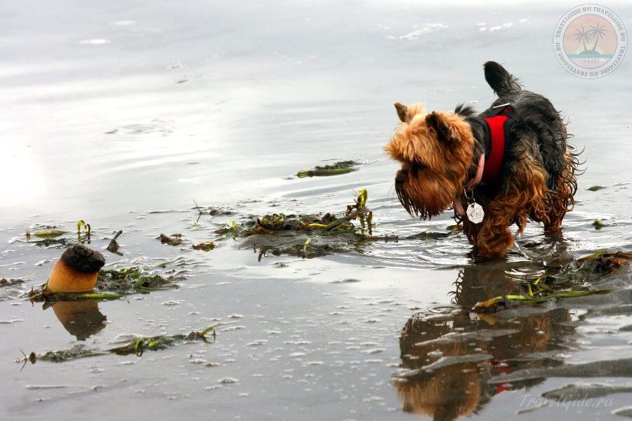 Собака увидела gooey-duck