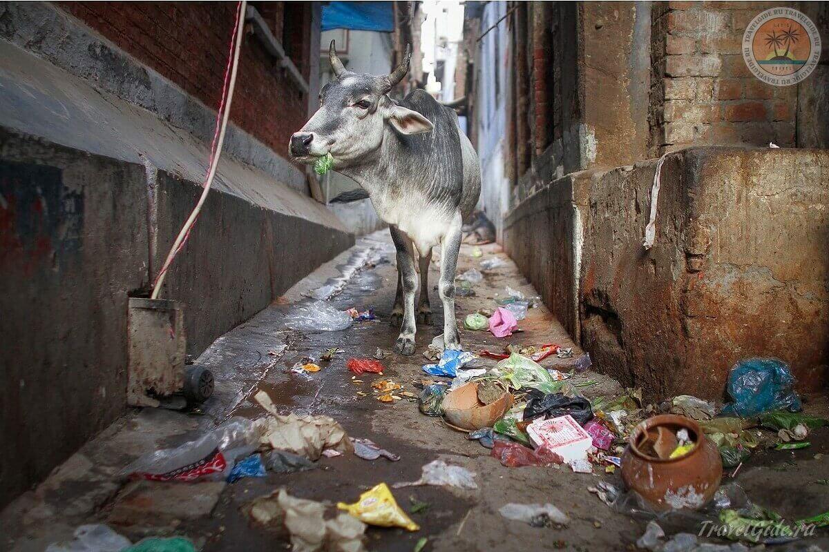 Корова в городе