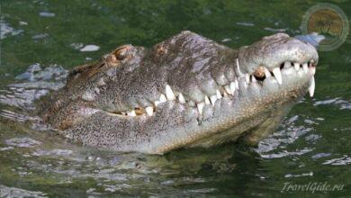 Photo of Можно ли приручить крокодила: поездка на Чёрную реку на Ямайке