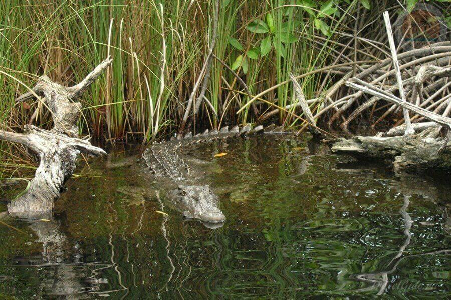 человек приручил крокодила